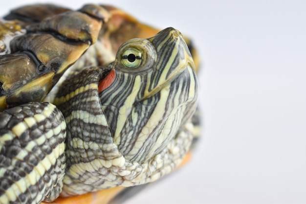Close-up of the turtle's eyes on a white surface