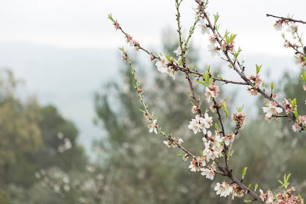Primo piano del ramoscelli con fiori di mandorlo