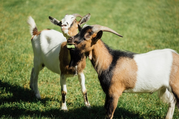 Close-up two farm goats on pasture