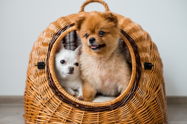 Close up of two lovely and pretty puppies - pomeranian and chihuahua dogs with funny faces and emotions are sitting and laying in a wicker dog house and looking out of it
