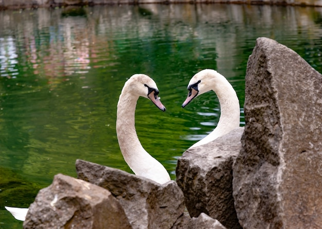 Close-up two swans in love look at each other curving their neck in the shape of a heart against a clean pond surrounded by stones.
