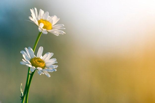 Close-up of two tender beautiful simple white daises with bright yellow hearts lit by morning sun blooming on high stems