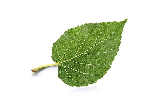 Закройте вверх под изолированным лист шелковицы