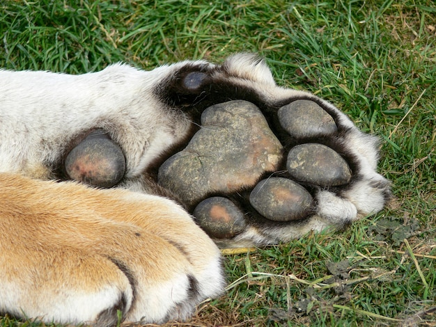 Close up of the underneath of a tiger's paw