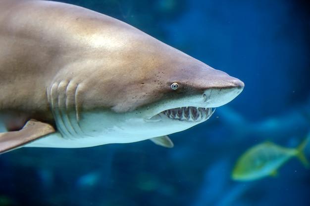 Крупным планом подводная большая белая акула