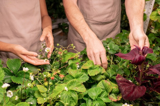 Close-up of unrecognizable greenhouse workers in aprons standing at plants and cultivating strawberry