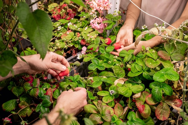 Close-up of unrecognizable workers harvesting selected strawberry in berry hothouse