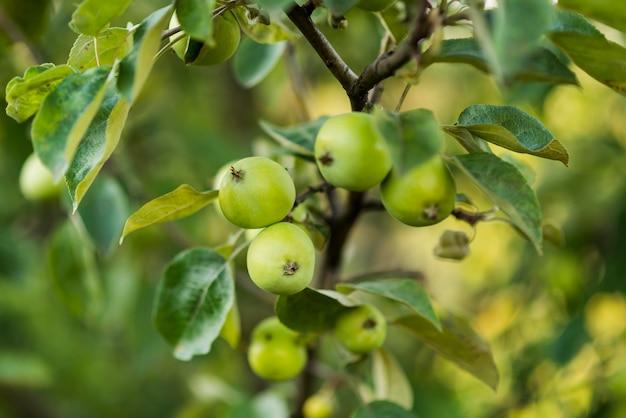 枝に熟していないリンゴをクローズアップ