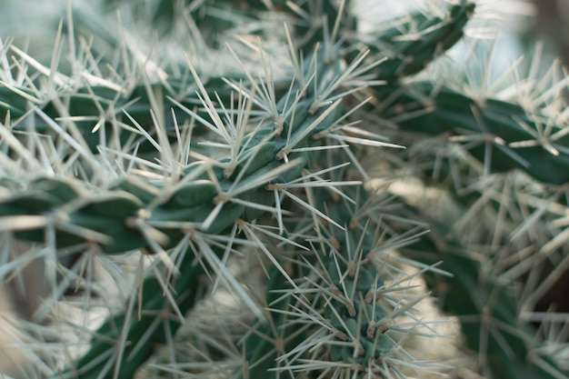 Close up on very spiky cactus, thorny cacti on blurred background