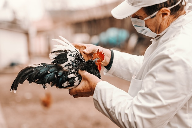 Close up of veterinarian in white coat and mask on face holding rooster. rural exterior.