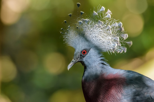Close up victoria crowned pigeon with green bokeh