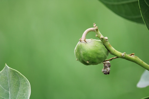 Close-up view of the apple of sodom fruit. arka plant.
