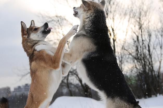 Крупным планом вид двух больших собак смешанных пород, сражающихся за снежный фон