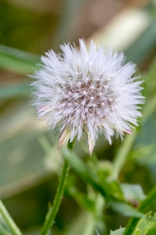 Close up view of the beautiful dandelion (taraxacum officinale) flower.