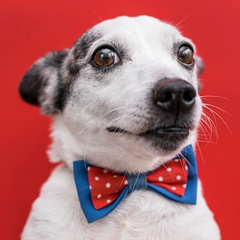 Close-up view of beautiful dog with bow tie