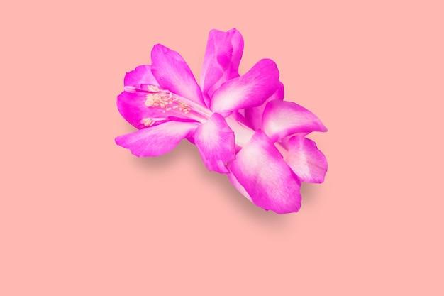 분홍색 배경에 격리된 아름다운 보라색 꽃을 가까이서 보세요. 텍스트 복사 공간을 추가했습니다.