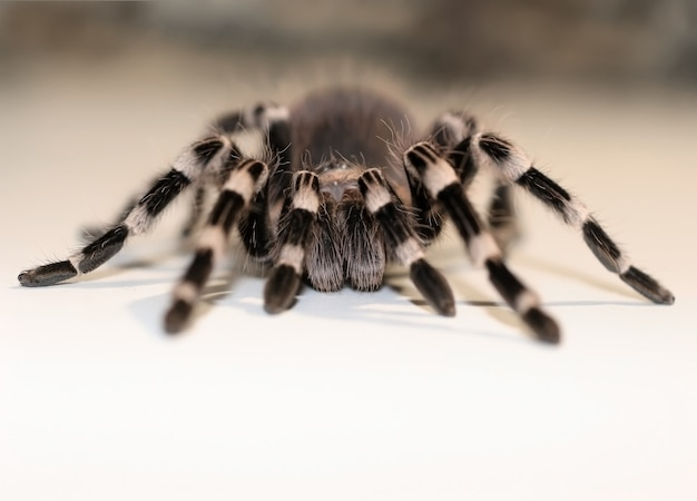 Close up view on the big spider tarantulas