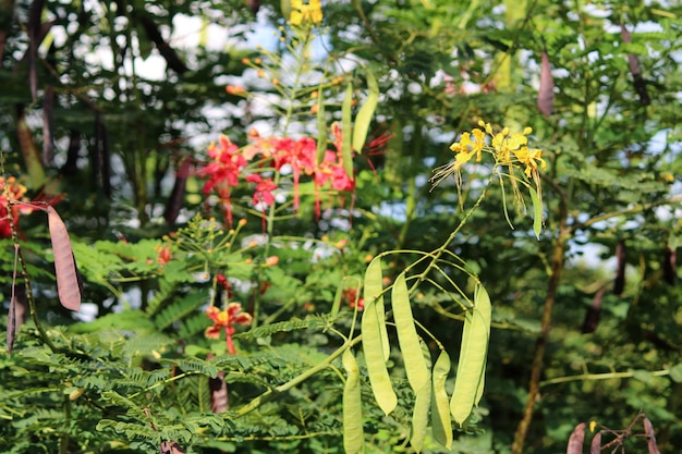 Close-up view of the caesalpinia pulcherrima pods and flowers.