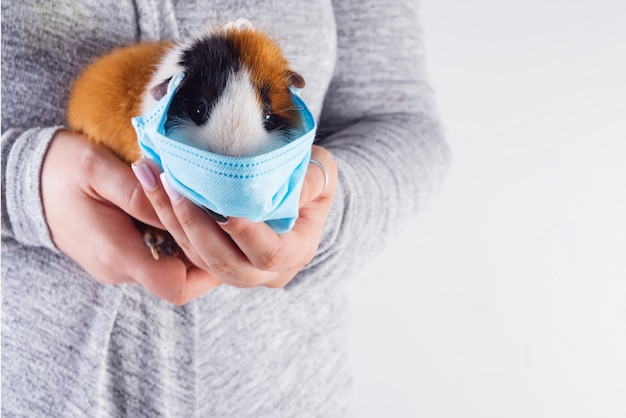 Close up view cute guinea pig in a protective mask in woman's hands on light grey