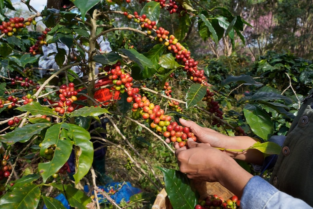 Close-up view of a farmers are collecting fresh coffee beans from arabica trees grown on the highland in mae wang district, chiang mai province.
