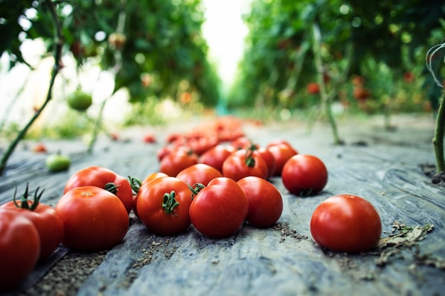 Close up view of fresh organic ripe tomatoes vegetables spread on the ground in hothouse garden.