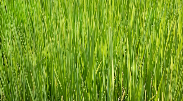 Close up view from top of rice plant sapling