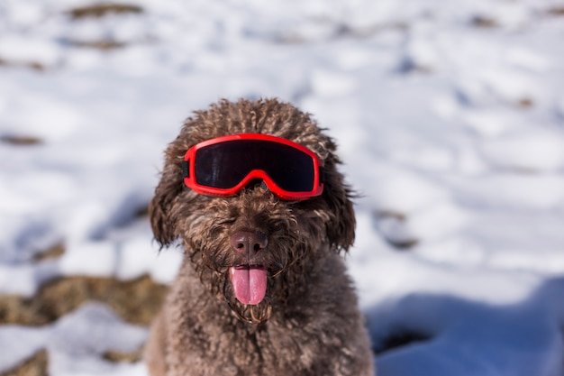 Close up view of a funny brown water dog wearing red ski goggles in the snow. sunny weather. pets outdoors