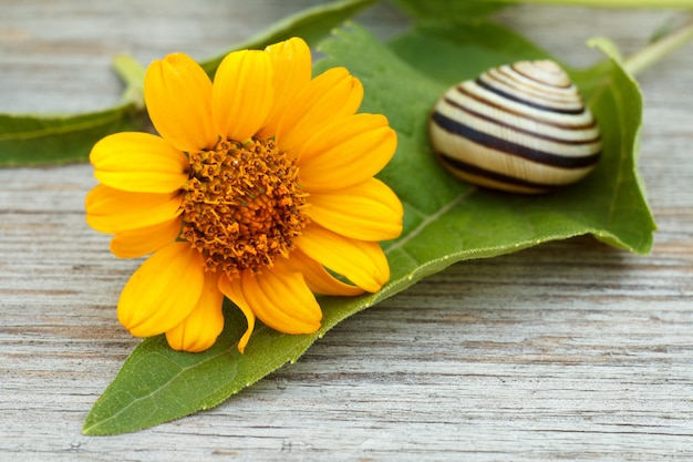 Close-up view of green leaf with yellow flower and snail on wooden board. shallow depth of field. focus on flower.