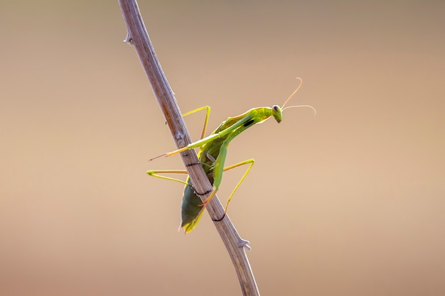 Close up view of green mantis on branch