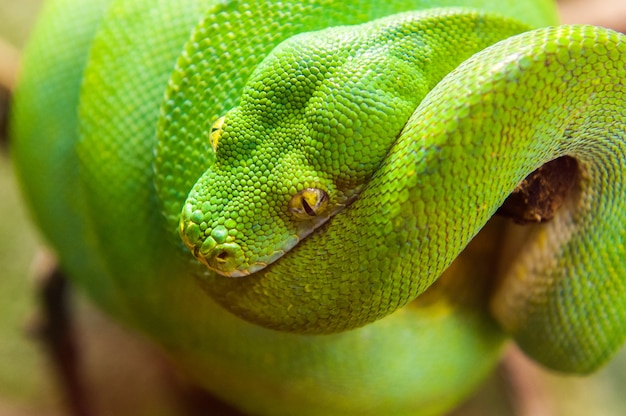 Close-up view of a green tree python morelia viridis.