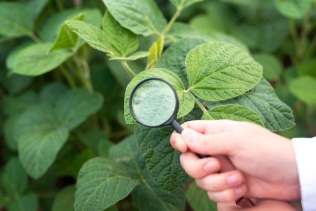 Close up view of hands holding magnifying glass checking soybean leaf