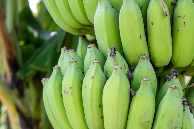 Крупным планом вид на кучу сырых органических зеленых бананов