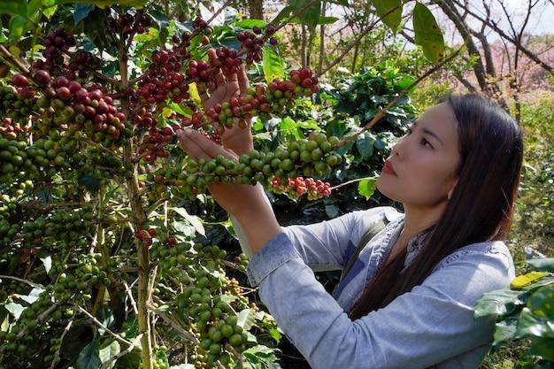 農家の拡大図は、チェンマイ県メーワン地区の高地で栽培されているアラビカ種の木から新鮮なコーヒー豆を集めています。