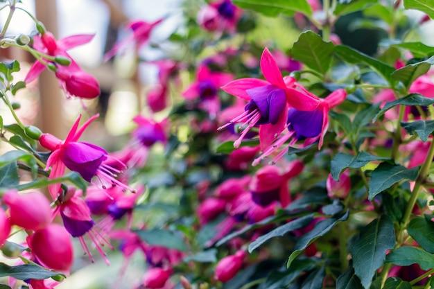 植物園のフクシアハイブリダのクローズアップビュー
