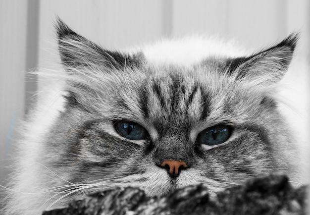 青い目をした灰色の縞模様のふわふわ猫の拡大図。ペットとライフスタイルのコンセプト。灰色の背景に美しいふわふわの猫。血統書付きの猫、スコットランドのハイランドストレート