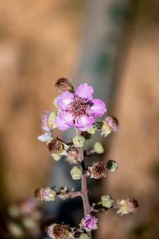 Крупным планом вид цветка рокроуза (cistus crispus).
