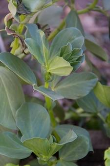 Крупным планом вид серебра бобов в органическом саду