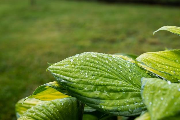 Крупным планом вид влажных зеленых листьев сирени после летнего утреннего свежего дождя
