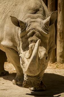 動物園のシロサイまたは角張ったサイ(ceratotherium simum)のビューを閉じます。