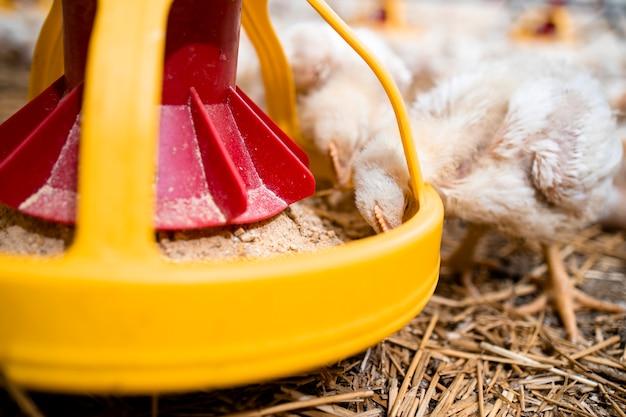 현대 가금류 농장의 자동 급이기에서 단백질 음식을 먹는 빠르게 성장하는 닭을 가까이서 보세요.