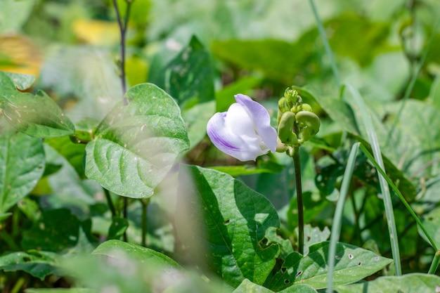 明るい日光の下で満開のインゲンマメの花のクローズアップビュー