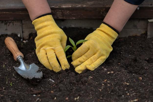 庭で若い小さな植物を植える手袋をはめた庭師の手のクローズアップ表示