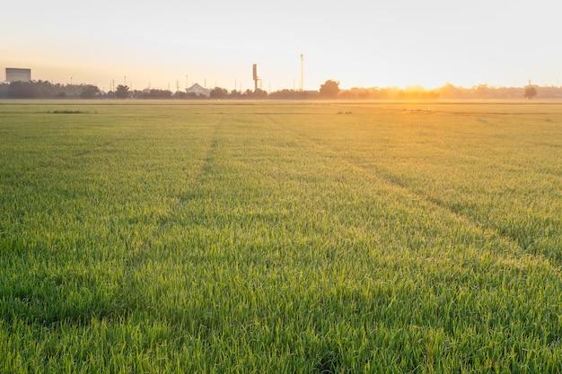 Крупным планом вид выращивания органических жасминовых рисовых полей утром в сельской местности в таиланде, размытие фона