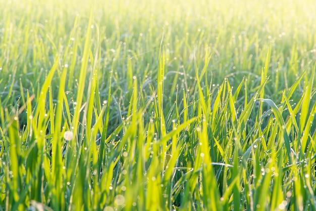 태국 시골에서 아침에 성장 유기농 재스민 쌀 필드의 뷰를 닫습니다, 배경 흐림