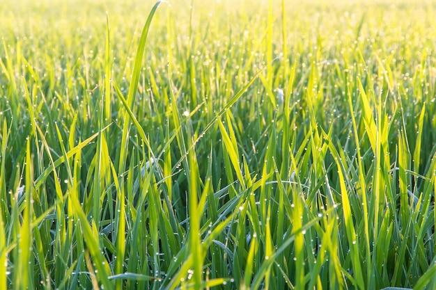 시골에서 아침에 성장 유기 재스민 쌀 필드의 뷰를 닫습니다