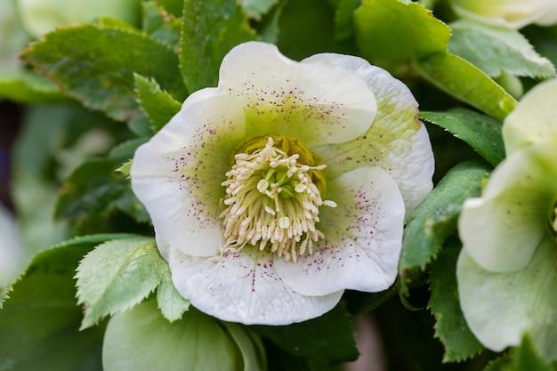 花壇のhelleborusorientalis春の花のクローズアップビュー。セレクティブフォーカス