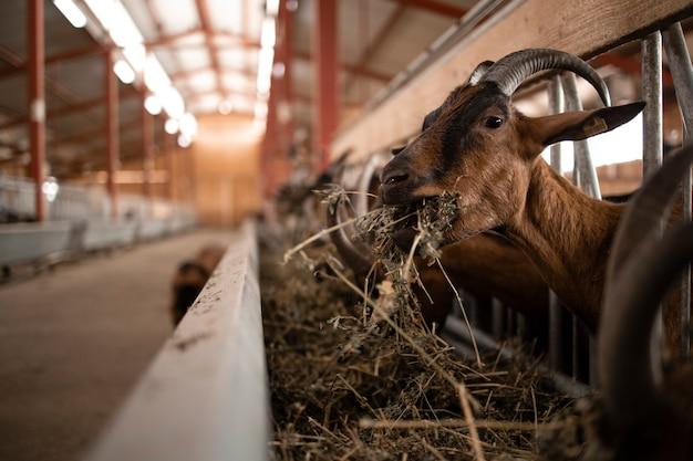 농가에서 음식을 먹는 배고픈 염소 가축의 뷰를 닫습니다.