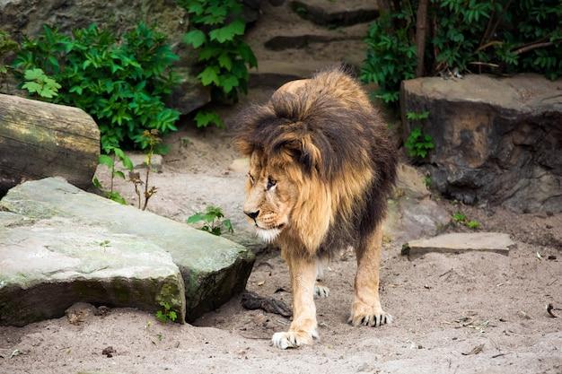 ライオンの顔のクローズアップビュー