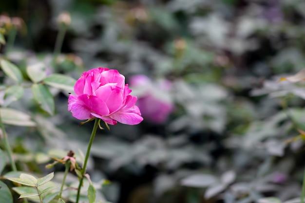 분홍색과 흰색 여러 가지 빛깔의 피어 있던 장미 정원에서 잎의 뷰를 닫습니다