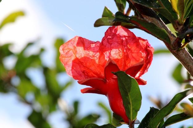 석류 꽃의 클로즈업 보기